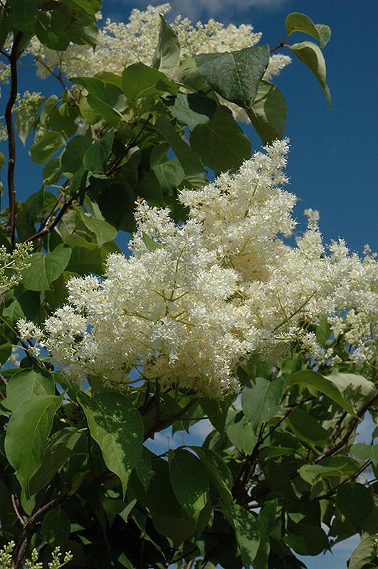 Ivory Silk Tree Lilac Tree Form Syringa Reticulata
