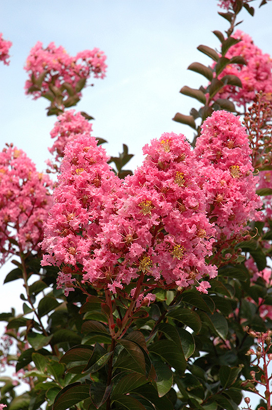 Sioux Crapemyrtle Lagerstroemia Sioux In Long Island