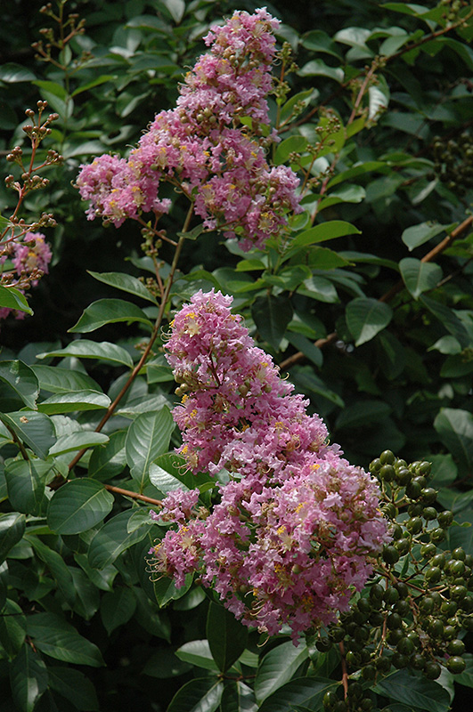 Muskogee Crapemyrtle (Lagerstroemia 'Muskogee') at Hicks Nurseries