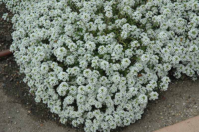 Clear Crystal White Sweet Alyssum (Lobularia maritima 'Clear Crystal White') at Hicks Nurseries
