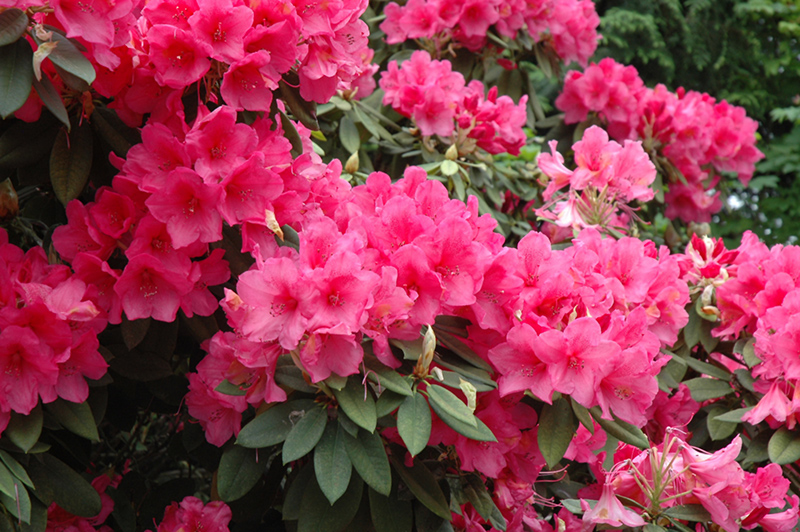 Anna Rose Whitney Rhododendron (Rhododendron 'Anna Rose Whitney') at Hicks Nurseries