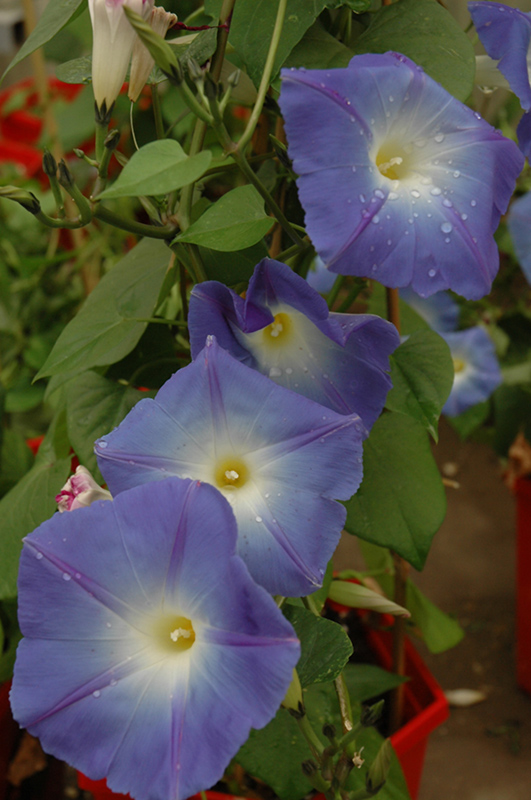 Heavenly Blue Morning Glory (Ipomoea tricolor 'Heavenly Blue') at Hicks Nurseries