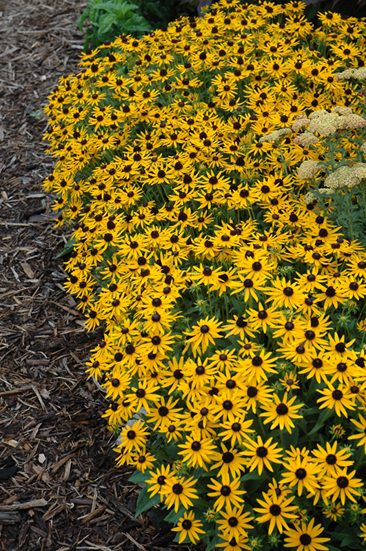 Little Goldstar Coneflower (Rudbeckia fulgida 'Little Goldstar') at Hicks Nurseries