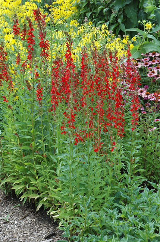 Cardinal Flower (Lobelia cardinalis) at Hicks Nurseries