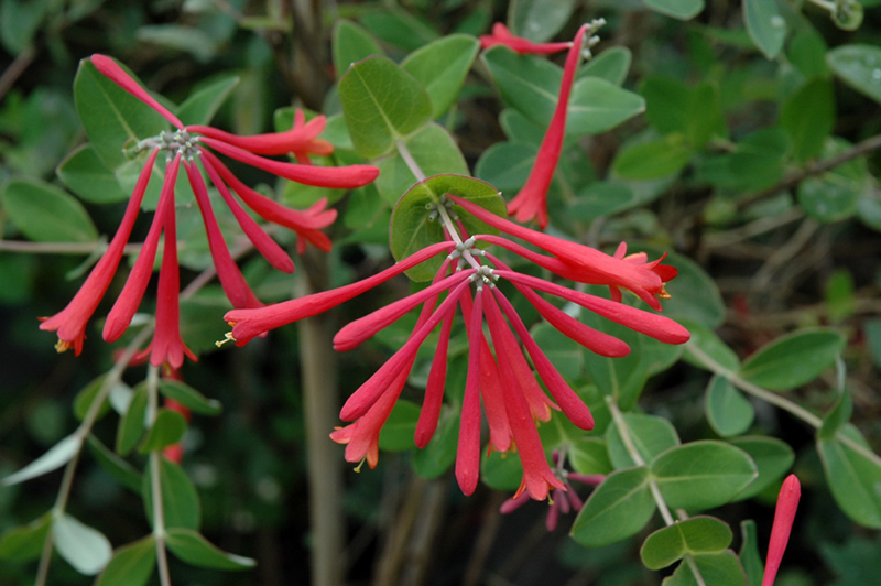 Trumpet Honeysuckle Lonicera Sempervirens In Long Island