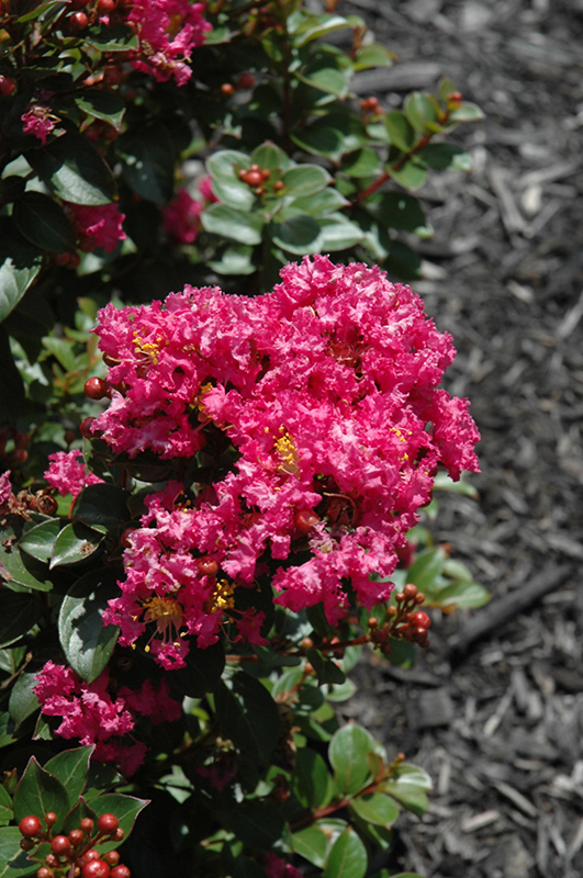 Berry Dazzle Crapemyrtle (Lagerstroemia indica 'Berry Dazzle') at Hicks Nurseries