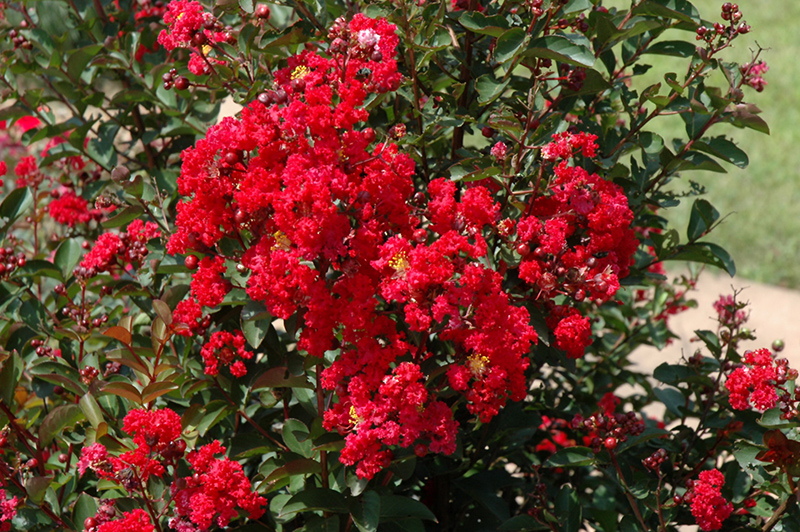 Dynamite Crapemyrtle Lagerstroemia Indica Whit Ii In