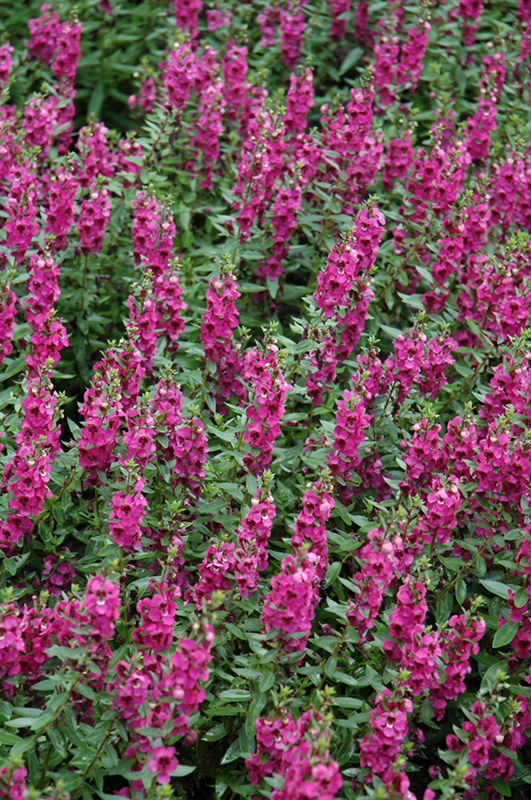 Archangel Raspberry Angelonia (Angelonia angustifolia 'Archangel Raspberry') at Hicks Nurseries