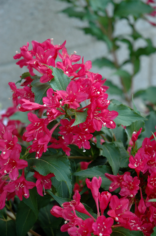 Sonic Bloom Red Reblooming Weigela (Weigela florida 'Verweig 6') at Hicks Nurseries