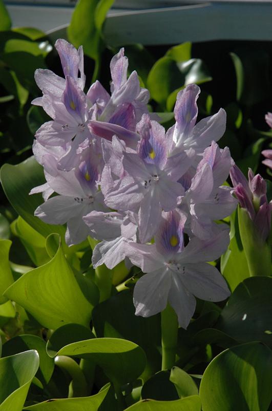 Water Hyacinth Eichhornia Crassipes In Long Island