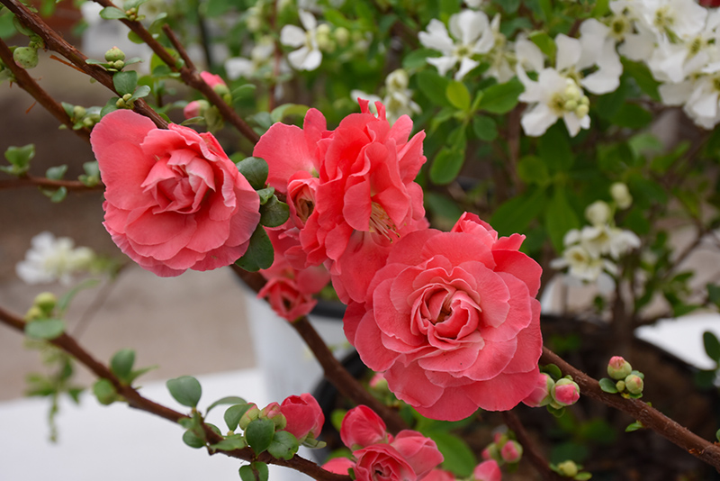 Double Take Pink Flowering Quince (Chaenomeles speciosa 'Double Take Pink Storm') at Hicks Nurseries