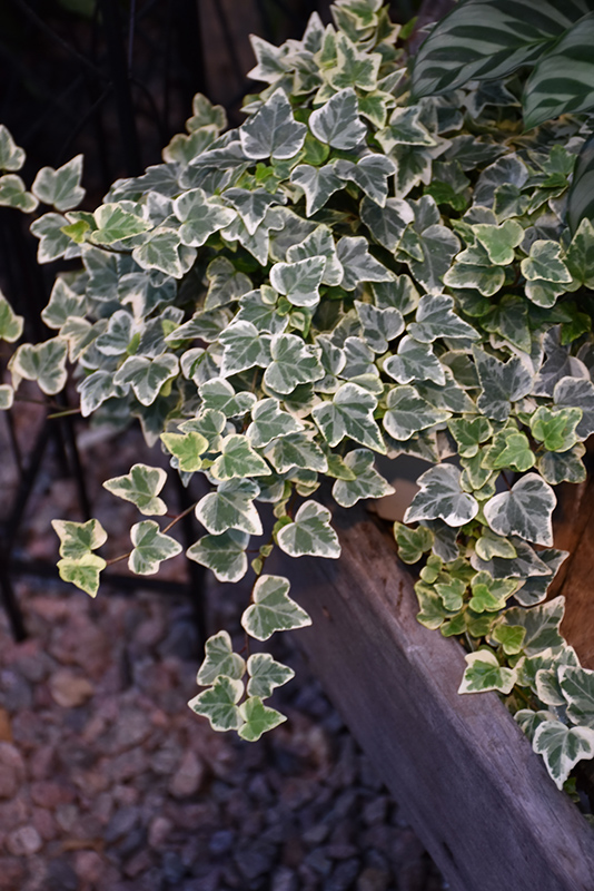 Glacier Ivy (Hedera helix 'Glacier') at Hicks Nurseries