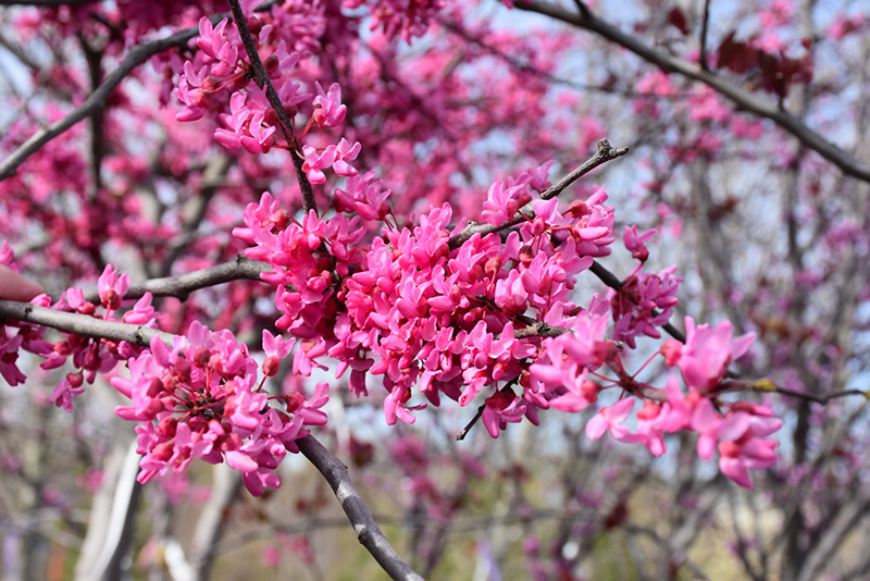 Appalachian Red Redbud (Cercis canadensis 'Appalachian Red') at Hicks Nurseries
