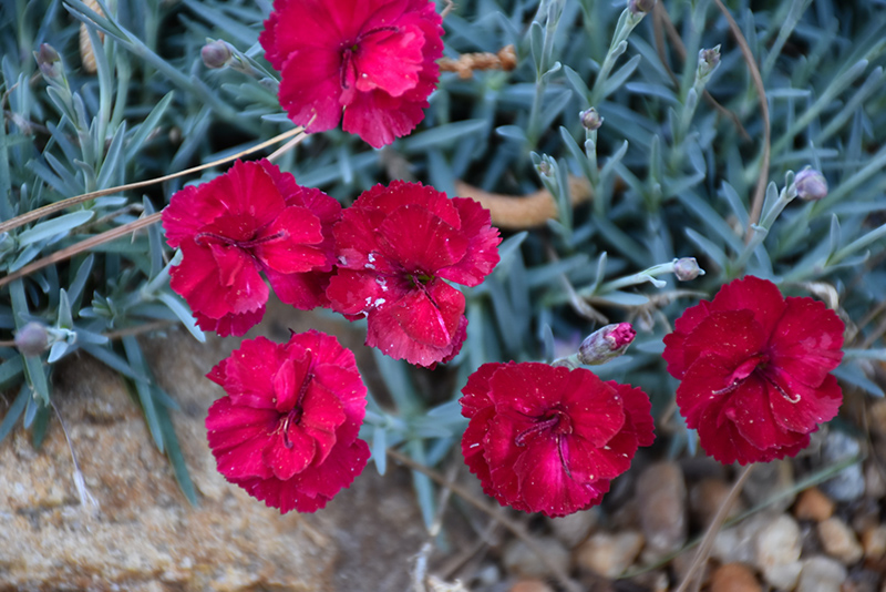 Frosty Fire Pinks (Dianthus 'Frosty Fire') at Hicks Nurseries