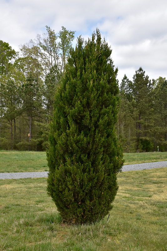 Spartan Juniper (Juniperus chinensis 'Spartan') at Hicks Nurseries