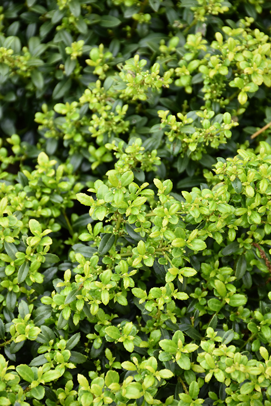 Soft Touch Japanese Holly Ilex Crenata Soft Touch In