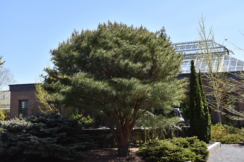 Japanese Umbrella Pine (Pinus densiflora 'Umbraculifera') at Hicks Nurseries