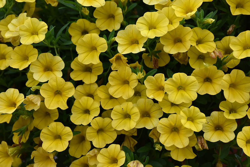 Superbells Yellow Calibrachoa (Calibrachoa 'Superbells Yellow') at Hicks Nurseries