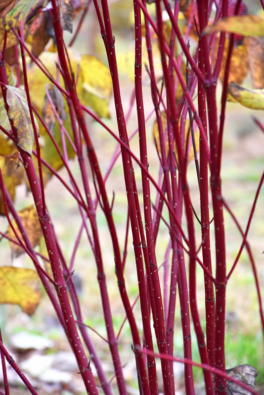 Red Osier Dogwood (Cornus sericea) at Hicks Nurseries