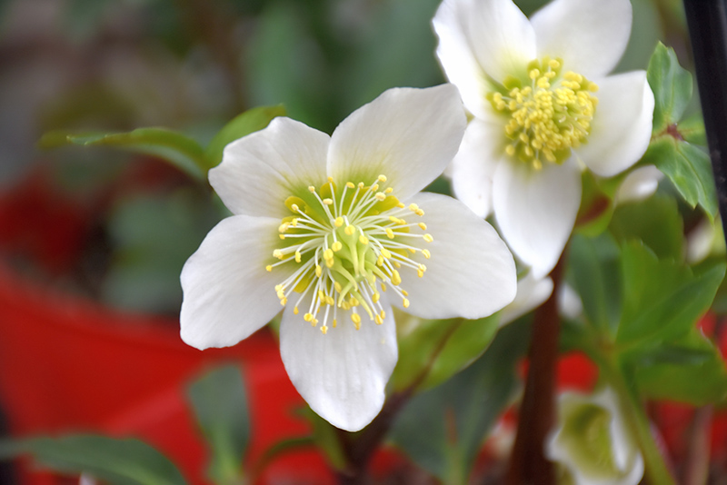 Gold Collection Jacob Hellebore (Helleborus niger 'Jacob') at Hicks Nurseries