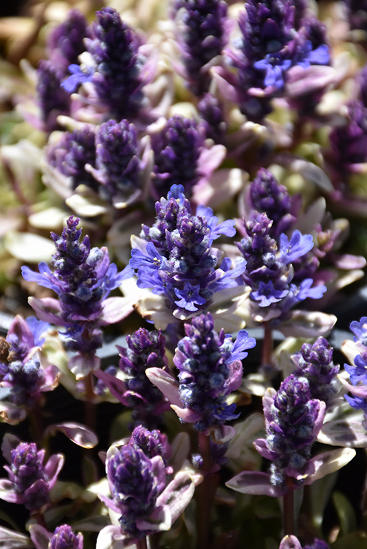 Dixie Chip Bugleweed Ajuga Dixie Chip In Long Island