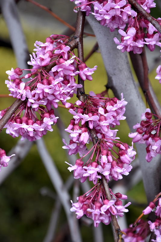 Lavender Twist Redbud (Cercis canadensis 'Covey') at Hicks Nurseries