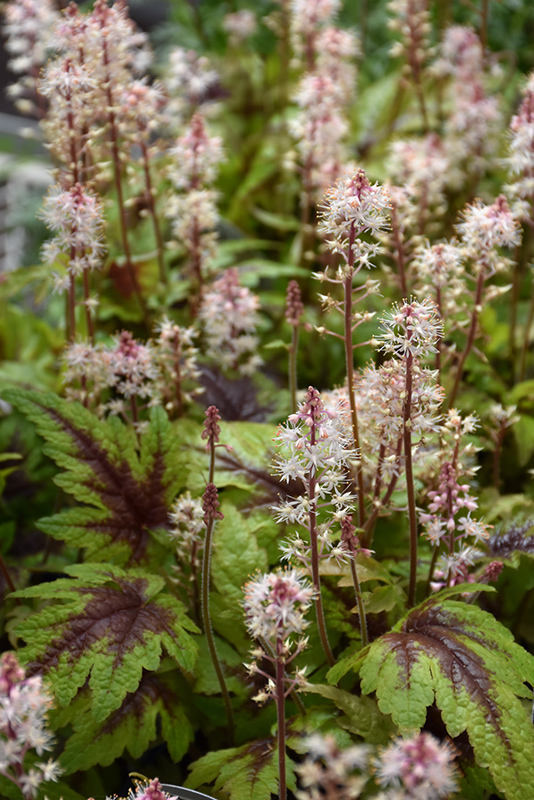 Sugar And Spice Foamflower (Tiarella 'Sugar And Spice') at Hicks Nurseries
