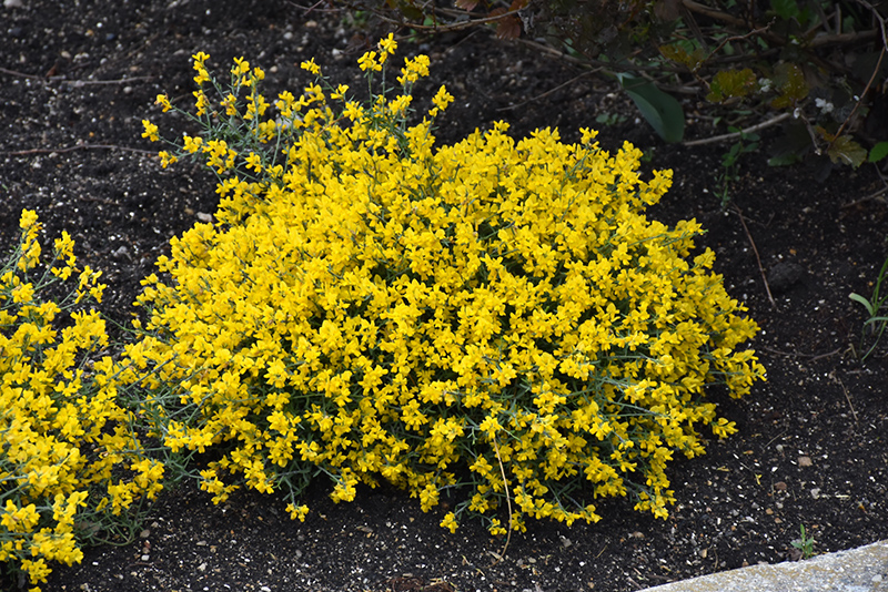 Bangle Dyers Greenwood (Genista lydia 'Select') at Hicks Nurseries
