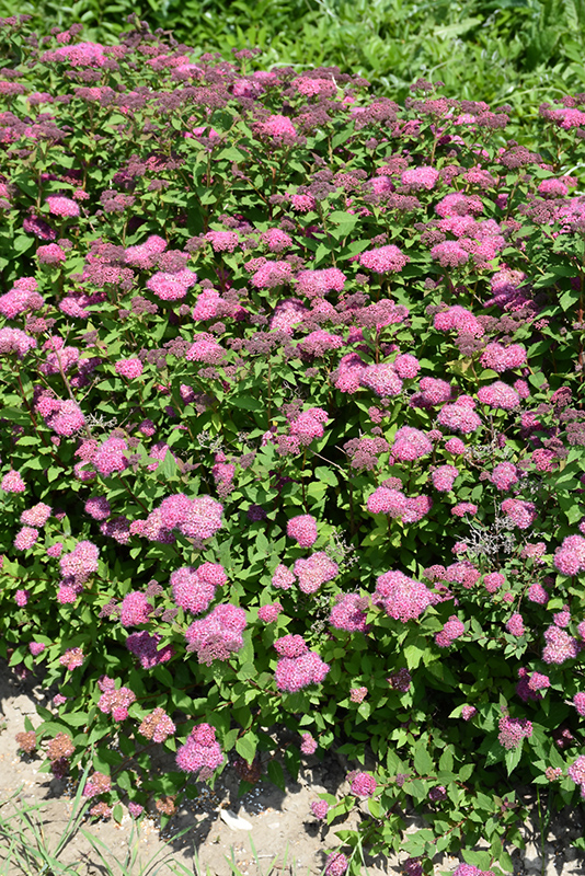 Double Play Artisan Spirea (Spiraea japonica 'Galen') at Hicks Nurseries