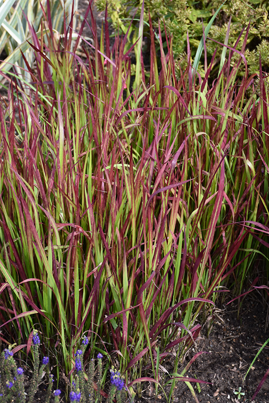 Red Baron Japanese Blood Grass (Imperata cylindrica 'Red Baron') at Hicks Nurseries