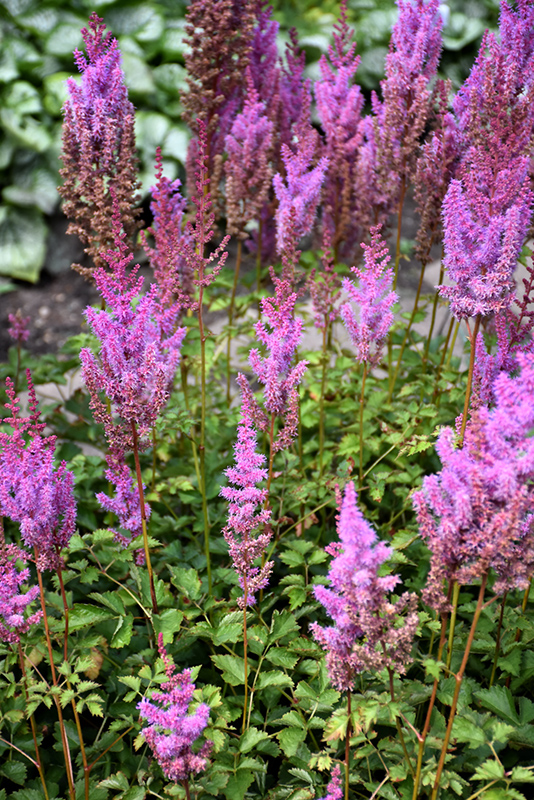 Purple Candles Astilbe (Astilbe chinensis 'Purple Candles') at Hicks Nurseries
