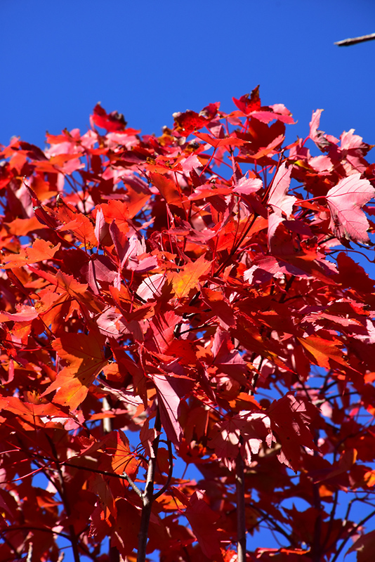 October Glory Red Maple (Acer rubrum 'October Glory') at Hicks Nurseries