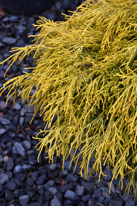 Golden Charm Falsecypress (Chamaecyparis pisifera 'Golden Charm') at Hicks Nurseries