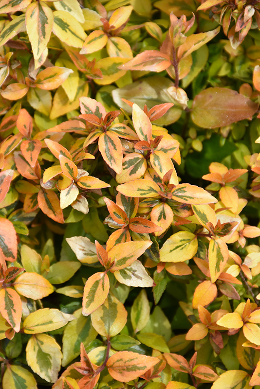 Kaleidoscope Abelia (Abelia x grandiflora 'Kaleidoscope') at Hicks Nurseries