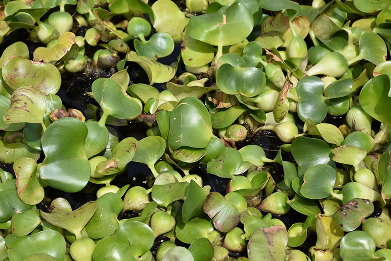 Water Hyacinth (Eichhornia crassipes) at Hicks Nurseries