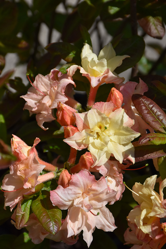 Cannon's Double Azalea (Rhododendron 'Cannon's Double') at Hicks Nurseries