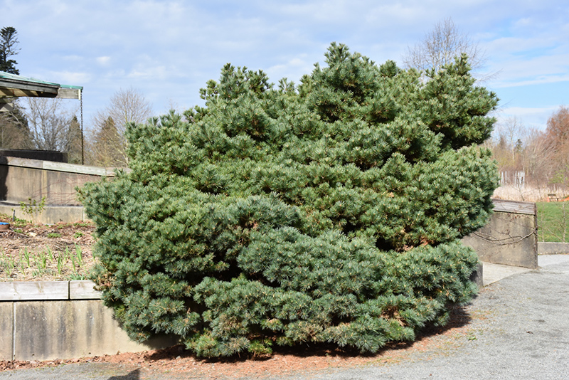 Blue Shag White Pine (Pinus strobus 'Blue Shag') at Hicks Nurseries