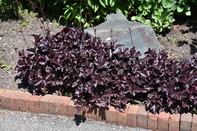 Obsidian Coral Bells (Heuchera 'Obsidian') at Hicks Nurseries