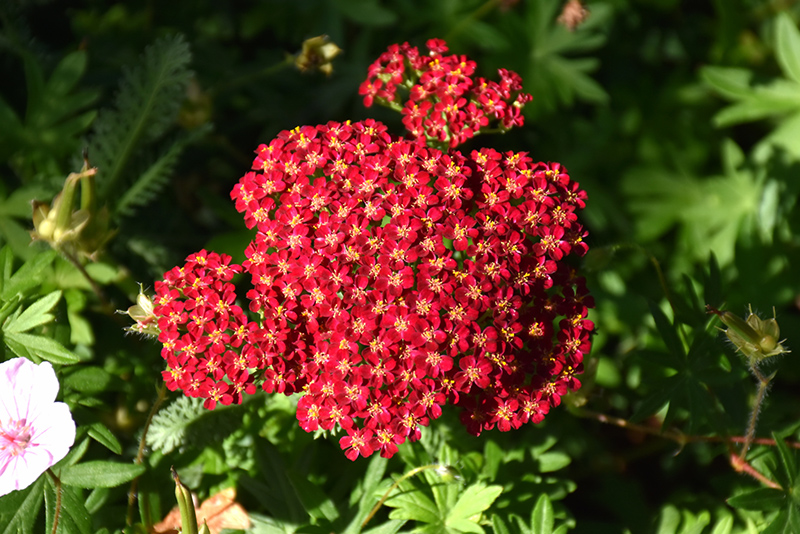 Red Velvet Yarrow (Achillea millefolium 'Red Velvet') at Hicks Nurseries