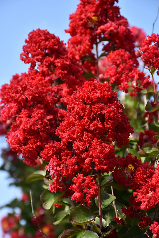 Dynamite Crapemyrtle (Lagerstroemia indica 'Whit II') at Hicks Nurseries