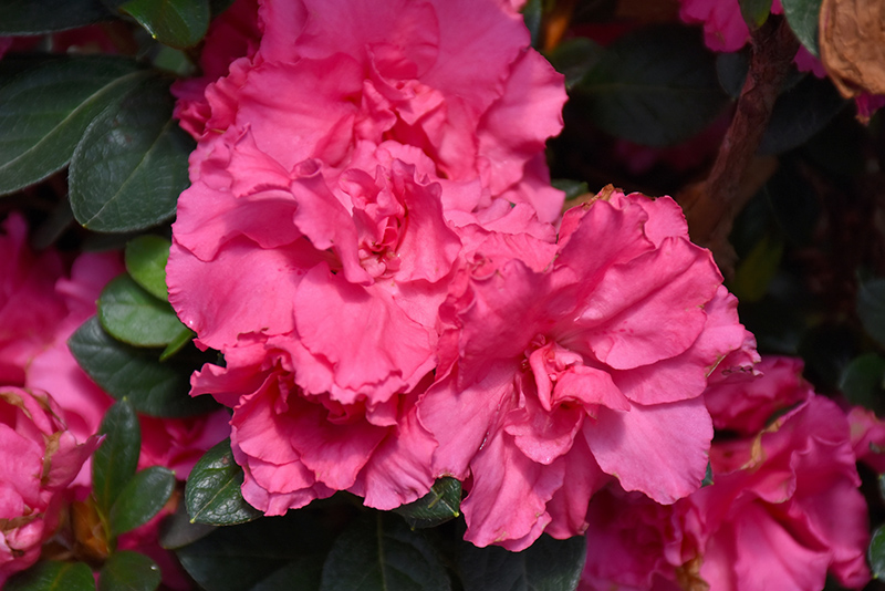 Bloom-A-Thon Pink Double Azalea (Rhododendron 'RLH1-2P8') at Hicks Nurseries