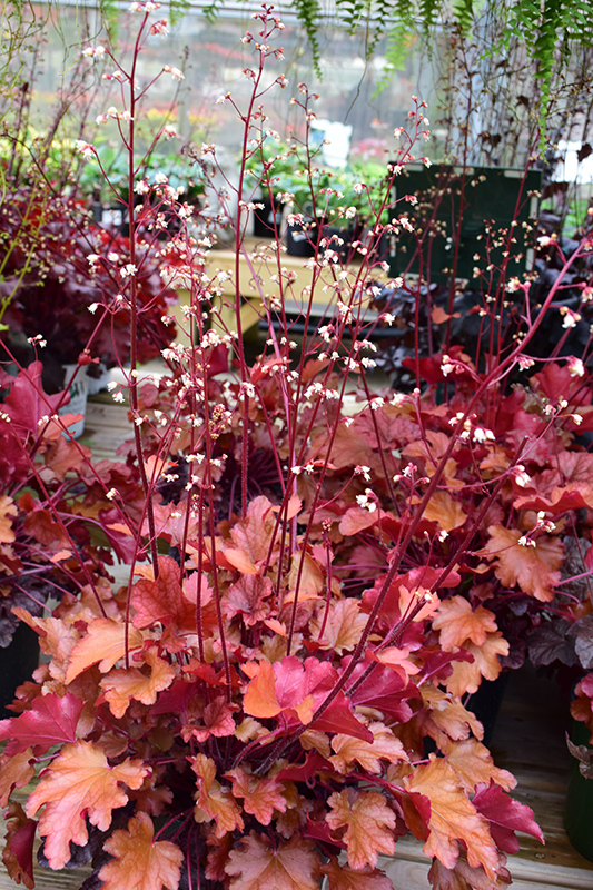 Peach Flambe Coral Bells (Heuchera 'Peach Flambe') at Hicks Nurseries