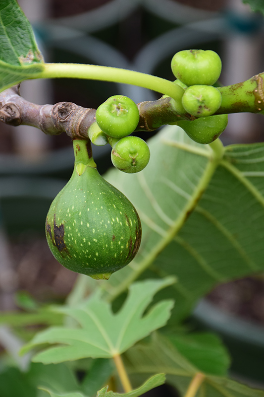 Kadota Fig (Ficus carica 'Kadota') at Hicks Nurseries