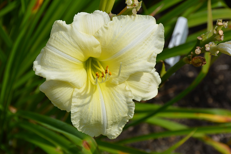 Joan Senior Daylily (Hemerocallis 'Joan Senior') at Hicks Nurseries