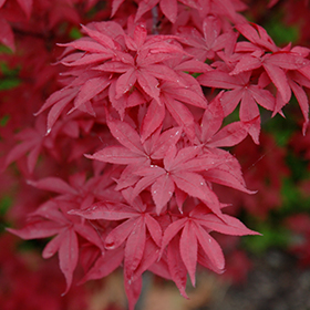 Japanese Maple Photo