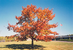 Red Oak (Quercus rubra) at Hicks Nurseries