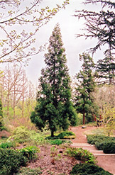 Japanese Cedar (Cryptomeria japonica) at Hicks Nurseries