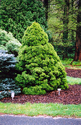 Dwarf Alberta Spruce (Picea glauca 'Conica') at Hicks Nurseries