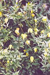 Golden Clematis (Clematis tangutica) at Hicks Nurseries