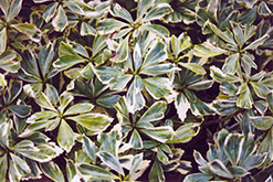 Silver Edge Japanese Spurge (Pachysandra terminalis 'Variegata') at Hicks Nurseries